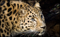 leopard-IMG_3977-as-Smart-Object-1
